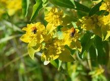 Dos mariquitas en la flor amarilla Fotografía de archivo