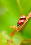 Dos mariquitas rojas el copulating en la hoja fresca de la primavera Foto de archivo libre de regalías