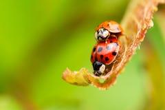 Dos mariquitas rojas en la hoja fresca de la primavera Fotografía de archivo libre de regalías
