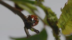 Dos mariquitas y un greenfly metrajes
