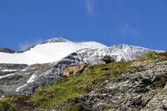 Dos marmotas en las montañas Foto de archivo libre de regalías