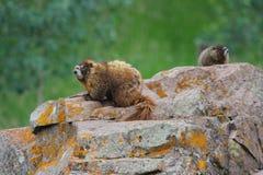 Dos marmotas en roca en bosque de la montaña Fotos de archivo