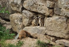 Dos marmotas que miran a una cara Fotos de archivo