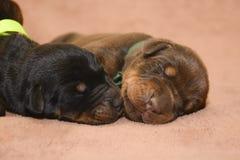 Dos marrones y sueño recién nacido negro del perrito Fotografía de archivo libre de regalías
