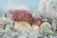 Dos mashrooms Imagen de archivo libre de regalías