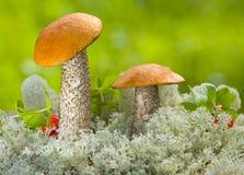 Dos mashrooms Foto de archivo