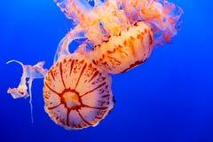 Dos medusas anaranjadas en un fondo azul marino imagenes de archivo