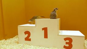 Dos meercats en un podio de la victoria El conceder, victoria y conceptos que ganan vídeo 4K almacen de video
