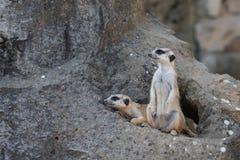 Dos Meerkat en roca antes de la guarida imagen de archivo libre de regalías