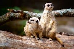 Dos Meerkats Foto de archivo libre de regalías