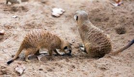 Dos meerkats Fotografía de archivo