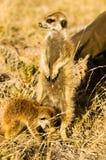 Dos Meerkats en Botswana foto de archivo