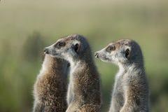 Dos Meerkats en perfil Fotos de archivo libres de regalías