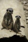 Dos meerkats, suricatta del Suricata Fotografía de archivo
