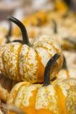 Dos Mini Pumpkins Up Close decorativo foto de archivo libre de regalías