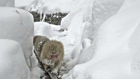Dos monos de la nieve que se acoplan mientras que mantiene caliente en un tubo de agua caliente externo Jigokudani, Nagano, Japón metrajes