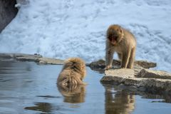 Dos monos en Jigokudani Foto de archivo libre de regalías