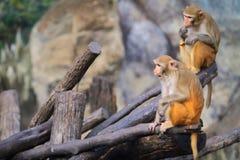 Dos monos están viviendo en un Forest Park imagenes de archivo