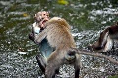 Dos monos que luchan en la lluvia Imágenes de archivo libres de regalías