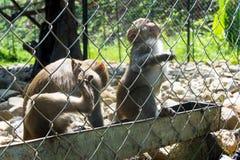 Dos monos que se sientan en la jaula del parque zoológico beben el agua Fotos de archivo libres de regalías