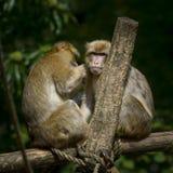 Dos monos que toman el cuidado de otro Foto de archivo libre de regalías