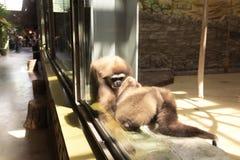 dos monos toman el cuidado de uno a que se sienta por la ventana imagenes de archivo