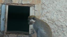 Dos monos verdes cerca de la puerta de su sabaeus del chlorocebus de la casa almacen de video