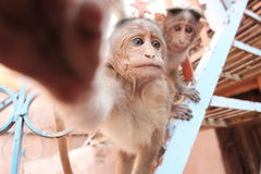 Dos monos y manos Fotos de archivo