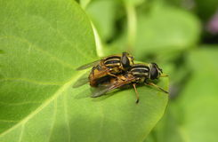 Dos moscas Fotografía de archivo libre de regalías