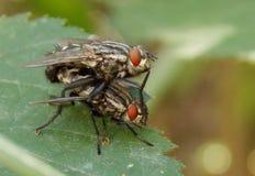 Dos moscas Fotografía de archivo