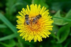 Dos moscas rayadas grandes en una flor amarilla Imagenes de archivo