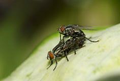 Dos moscas se están acoplando Foto de archivo libre de regalías