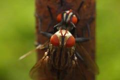 Dos moscas shagging hacia fuera en la naturaleza Fotos de archivo libres de regalías