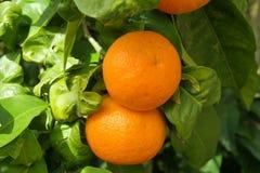 Dos naranjas Imagen de archivo libre de regalías