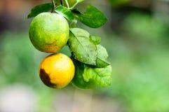 Dos naranjas en árbol Imágenes de archivo libres de regalías