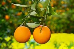 Dos naranjas en un árbol Fotos de archivo libres de regalías