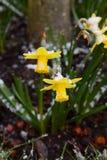 Dos narcisos de la primavera sacados el polvo con nieve ligera Fotografía de archivo