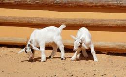 Dos niños de cabra Imágenes de archivo libres de regalías