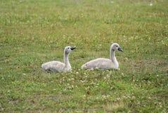 Dos niños del cisne Fotos de archivo libres de regalías