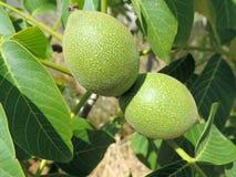 dos nueces no maduras verdes en un árbol Fotografía de archivo libre de regalías