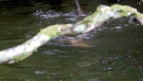 Dos nutrias juguetonas en agua almacen de metraje de vídeo
