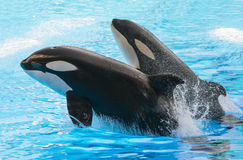 Dos orcas de salto florida Fotografía de archivo