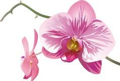 Dos orquídeas blanco-rosado-púrpuras decorativas fotos de archivo