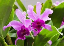 Dos orquídeas Imágenes de archivo libres de regalías