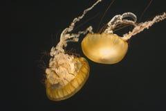 Dos ortigas del mar fotografía de archivo