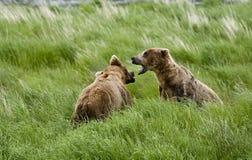 Dos osos de Brown que ajustan apagado Fotografía de archivo libre de regalías
