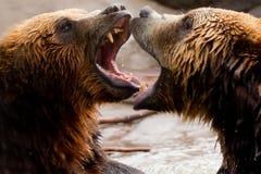 Dos osos de Brown que juegan o que luchan Fotografía de archivo