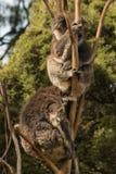 Dos osos de koala que duermen en árbol Imagen de archivo libre de regalías