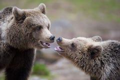 Dos osos en primer Imágenes de archivo libres de regalías
