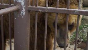 Dos osos están en el parque zoológico almacen de metraje de vídeo